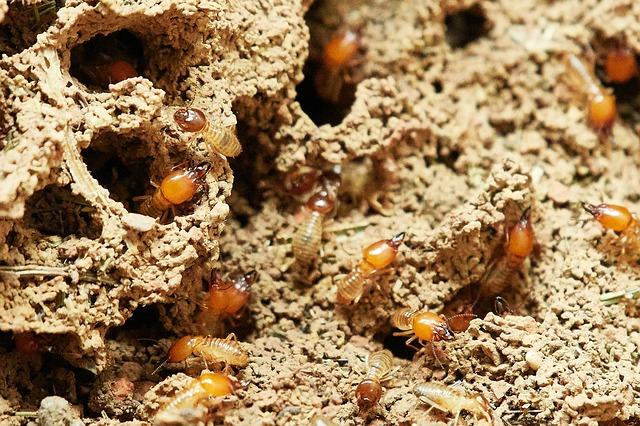 Come eliminare le termiti: le caratteristiche di questo insetto